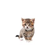 Kitten - Cat Age